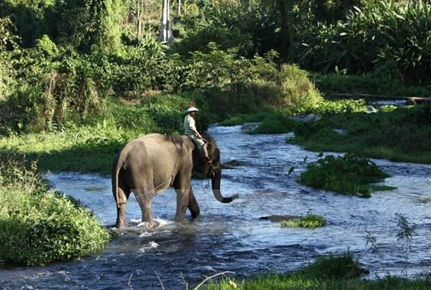 Dak Lak refuerza preservacion de elefantes hinh anh 1