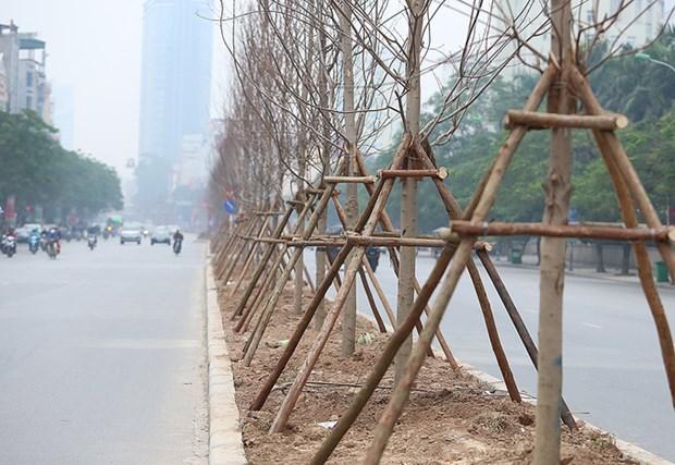 Hanoi planta arboles de arce hinh anh 1