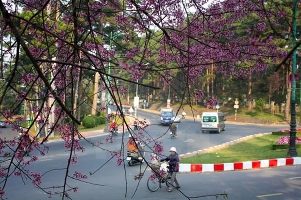 Festival de flor de cerezo embellecera ciudad altiplanica vietnamita hinh anh 1