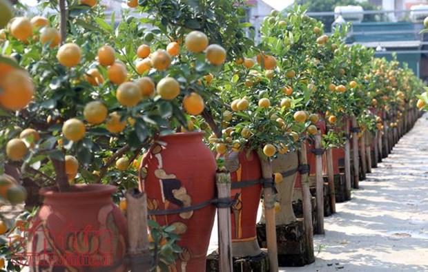 Exhibicion de bonsai de kumquat: muestra del deseo de prosperidad en el Tet hinh anh 1