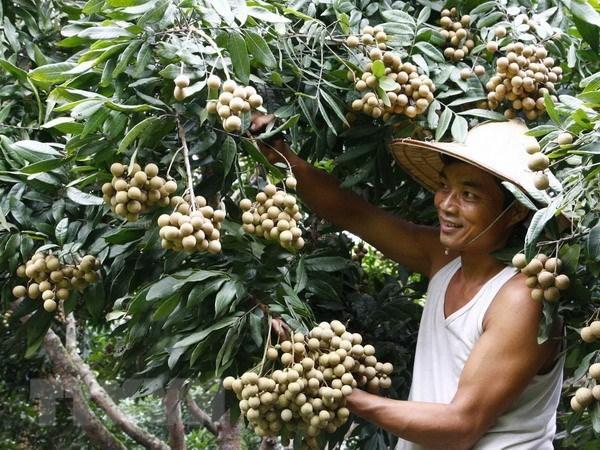 Vietnam podria exportar longans a Australia en 2019 hinh anh 1