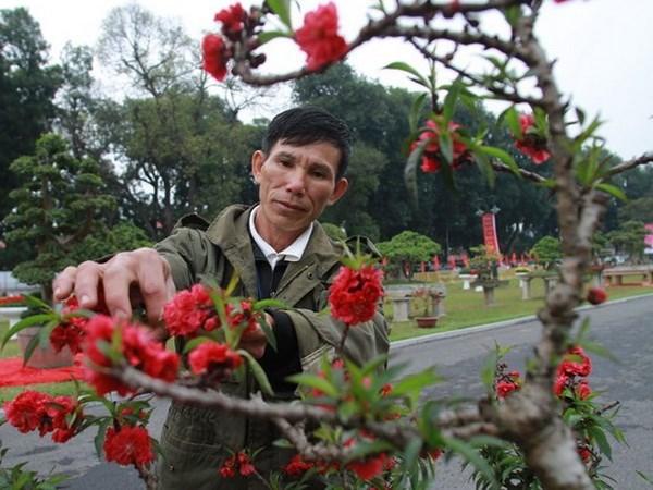 El placer de cuidar arboles de melocoton en Vietnam hinh anh 1