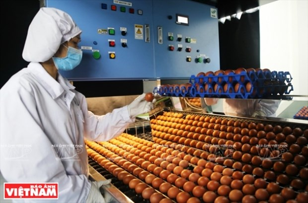 Primeros lotes de huevos limpios de la fabrica mas grande de Vietnam hinh anh 1