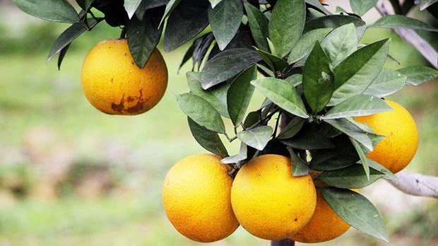 Naranja Vinh, especialidad de la provincia vietnamita de Nghe An hinh anh 1