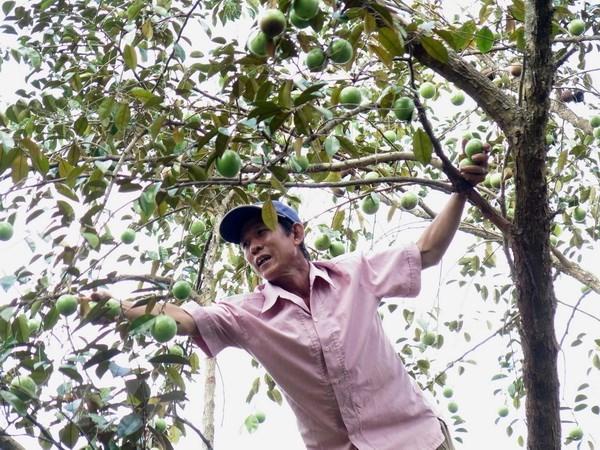 Vietnam trabaja para exportar caimito a mercados mundiales hinh anh 1