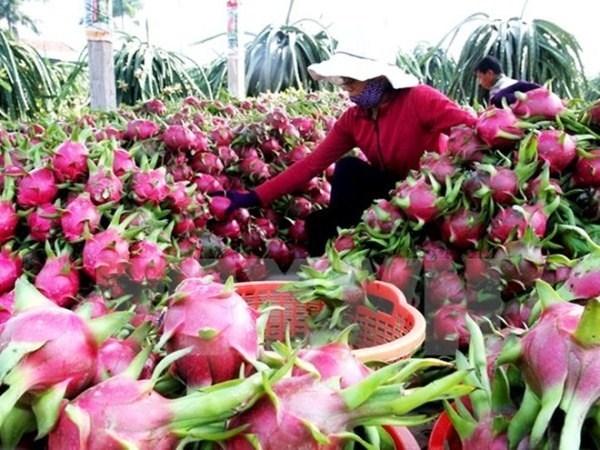 Provincia vietnamita amplia superficie de cultivo de pitahaya hinh anh 1