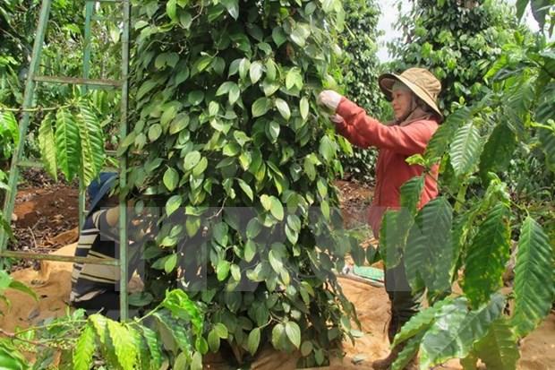 Exportaciones de pimienta vietnamita generan mas de 138 millones de dolares hinh anh 1