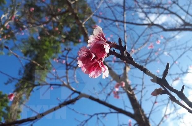 Cultivan arboles de cerezo en Bac Ninh como muestra de la amistad Vietnam- Japon hinh anh 1