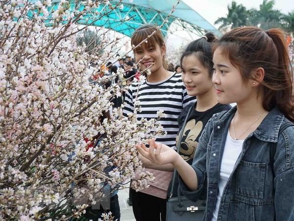 Sakura florece en exhibicion en festival cultural Vienam-Japon hinh anh 1