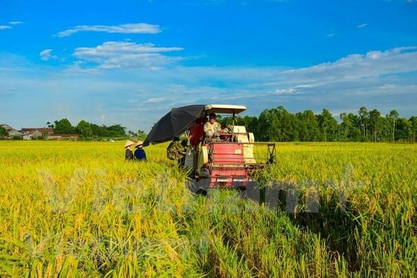 Delta de Mekong inicia cosecha de verano- otono de arroz hinh anh 1