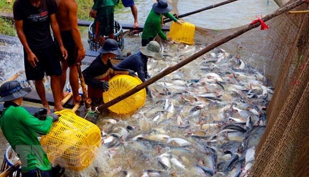Provincia vietnamita amplia area de cultivo de peces Tra hinh anh 1