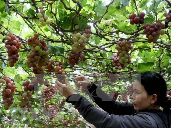 Vietnam prioriza el desarrollo del turismo agricola hinh anh 1