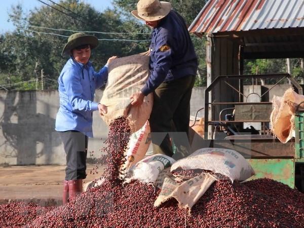 Exportaciones de cafe de Vietnam alcanzan mil millones de dolares en primer trimestre hinh anh 1