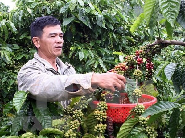 Vietnam ingresa mil millones de dolares por exportaciones de cafe en primer trimestre hinh anh 1