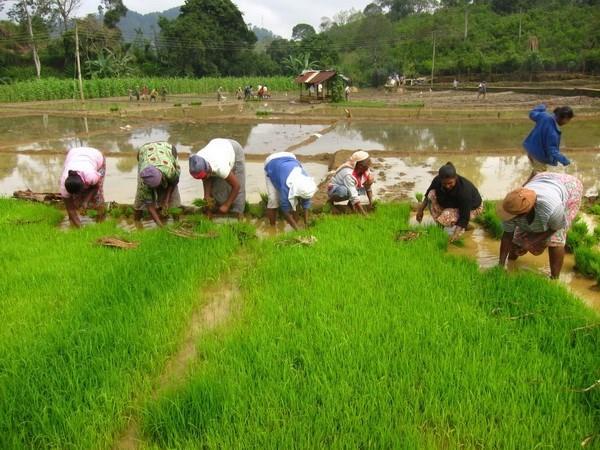 Myanmar recauda fondo multimillonario por exportaciones de arroz en ano fiscal 2017- 2018 hinh anh 1