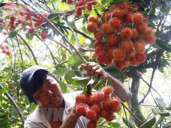 Vietnam exportara rambutan a Nueva Zelanda hinh anh 1