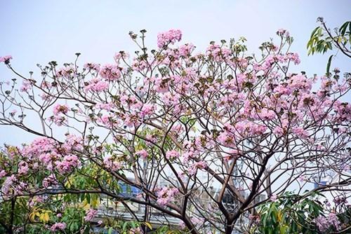 Ciudad Ho Chi Minh se tine de rosa con arboles de trompeta de color hinh anh 1
