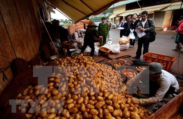 Provincia vietnamita de Lam Dong busca desarrollar marca de patata Da Lat hinh anh 1