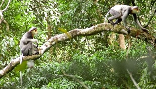Provincia vietnamita emprende proyecto para proteger especie amenazada de primate hinh anh 1