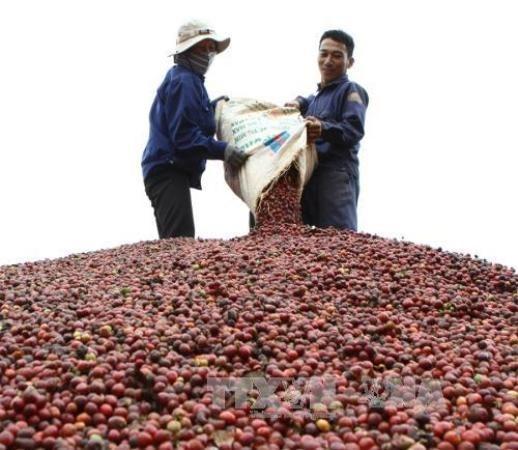 Exportaciones de cafe de Vietnam alcanzan mil 300 millones de dolares hinh anh 1