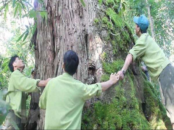 Descubren en Vietnam arbol Fokienia hodginsii de mil anos hinh anh 1