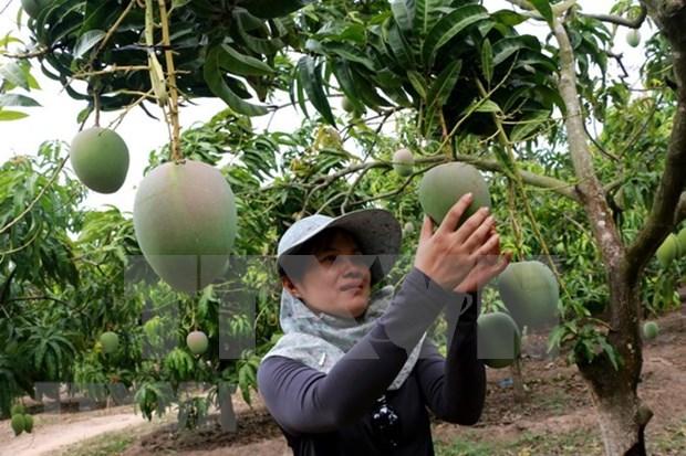Exportan primer lote de mangos tricolores vietnamitas a Australia hinh anh 1