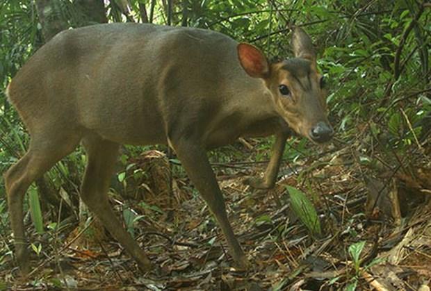 Captan en Vietnam imagen de muntiacos adultos en peligro de extincion hinh anh 1