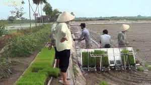 Impulsan mecanizacion en la produccion de arroz en Hanoi hinh anh 1