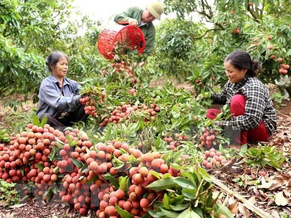 Provincia vietnamita de Bac Giang exporta la mitad de su produccion de lichi hinh anh 1