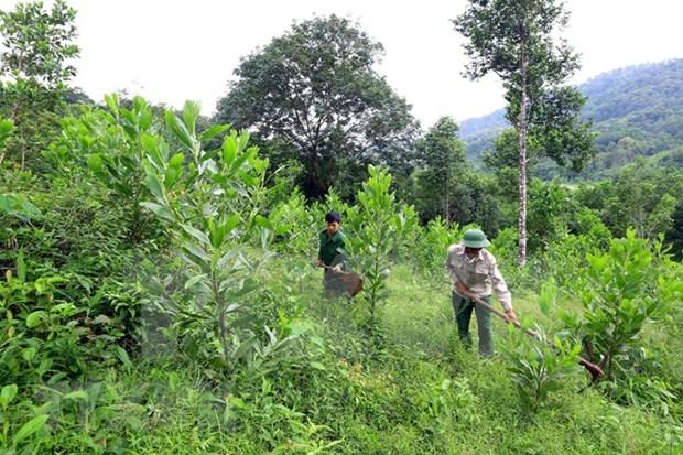 Vietnam replanta cerca de 57 mil hectareas de bosques hinh anh 1