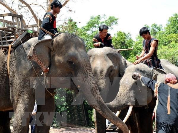 Vietnam desarrollara modelo turistico amigable con elefantes hinh anh 1