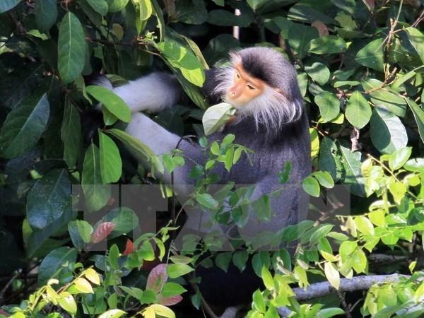 Provincia vietnamita realiza proyecto para proteger primates raros hinh anh 1