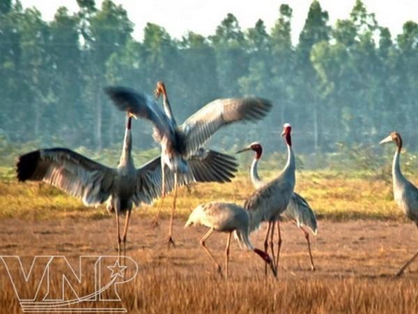 Alertan sobre peligro de extincion de ejemplares de grullas de cabeza roja en Parque nacional vietnamita hinh anh 1