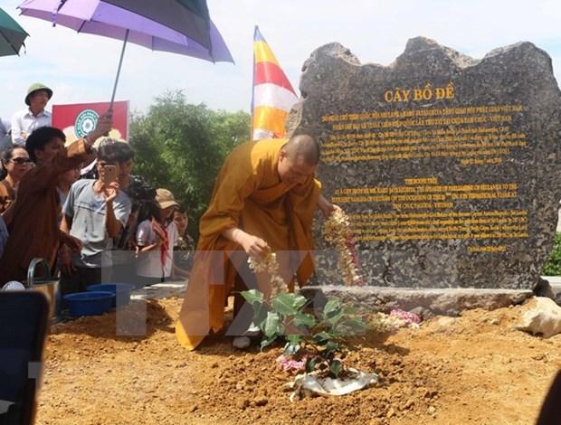 Siembran en Vietnam arbol Bodhi, planta bajo la cual nacio el budismo, segun leyenda hinh anh 1