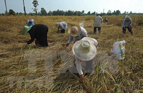 Tailandia dedica casi tres mil millones de dolares a favor del sector arrocero hinh anh 1