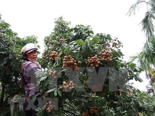 Vietnam exporta por primera vez longan del distrito Song Ma hinh anh 1