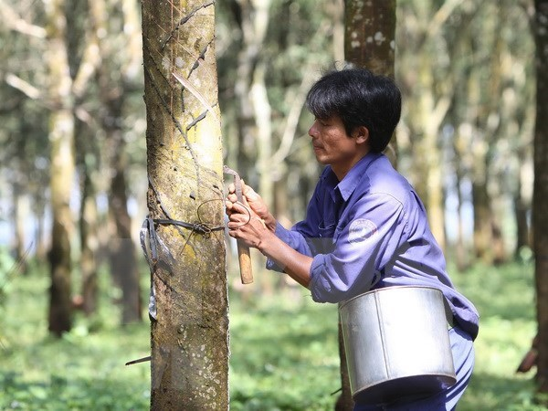Precio de caucho de Vietnam registra tendencia bajista hinh anh 1