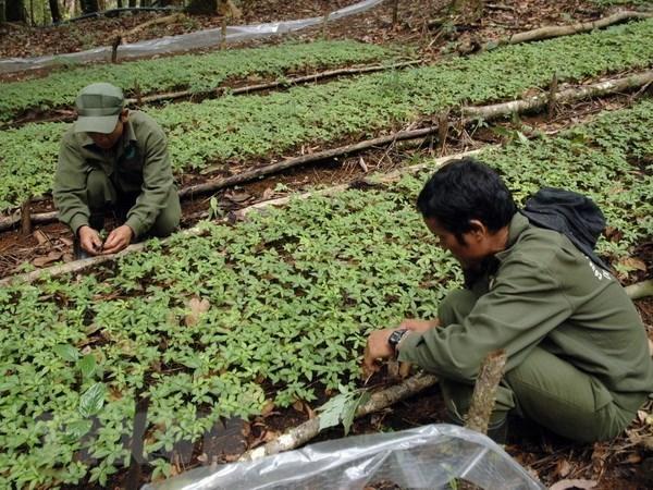 Ampliaran en Vietnam plantacion del ginseng Ngoc Linh hinh anh 1