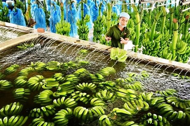 Provincia altiplanica vietnamita exporta primer lote de platanos a Japon hinh anh 1