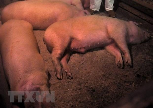 Epidemia de peste porcina africana en China puede cruzar frontera hinh anh 1