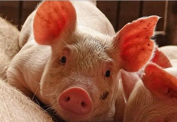 Vietnam esta libre de peste porcina africana, confirma su Ministerio de Agricultura y Desarrollo Rural hinh anh 1