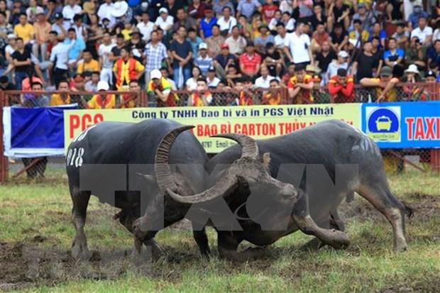 Celebran Festival de lucha de bufalos Do Son en ciudad vietnamita hinh anh 1