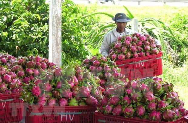Promueven venta de pitahaya vietnamita en mercado indio hinh anh 1