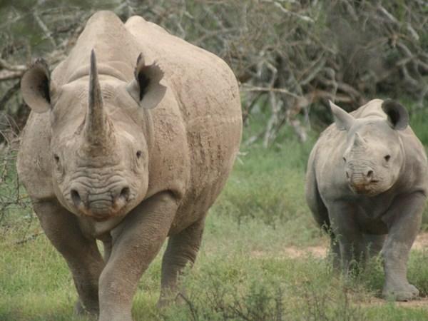 Aduana vietnamita incauta cuernos de rinoceronte procedentes de Sudafrica hinh anh 1