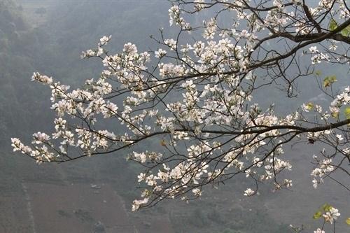 Celebraran sexto festival de flor de Bauhinia en provincia norvietnamita hinh anh 1
