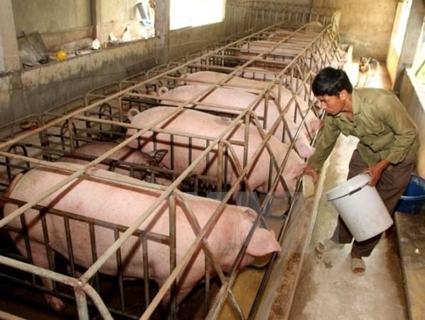 Vietnam impulsa el desarrollo de industria ganadera hinh anh 1