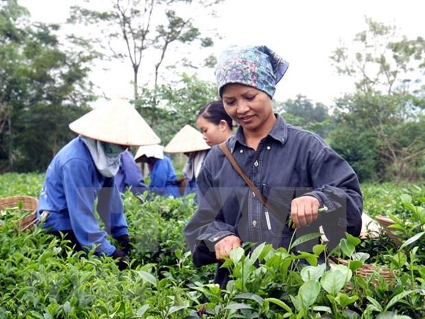 Provincia vietnamita de Phu Tho busca divulgar su marca comercial de te hinh anh 1