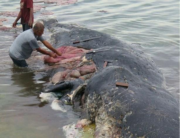 Encuentran en Indonesia cadaver de ballena con seis kilos de plastico en su estomago hinh anh 1