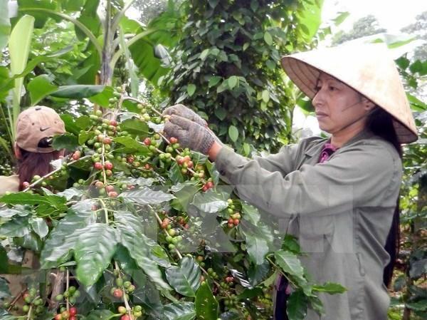Australia respalda a provincia altiplana vietnamita en cultivo de pimienta y cafe hinh anh 1