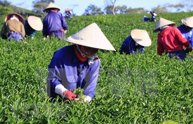 Exportacion de te de Vietnam alcanzaria 145 mil toneladas en 2018 hinh anh 1